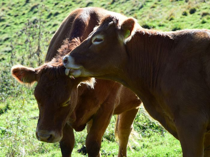 West Lombardy cows